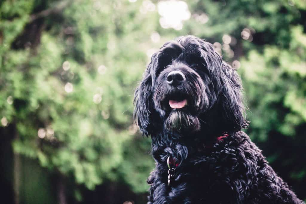 Portugese Water Dog Price