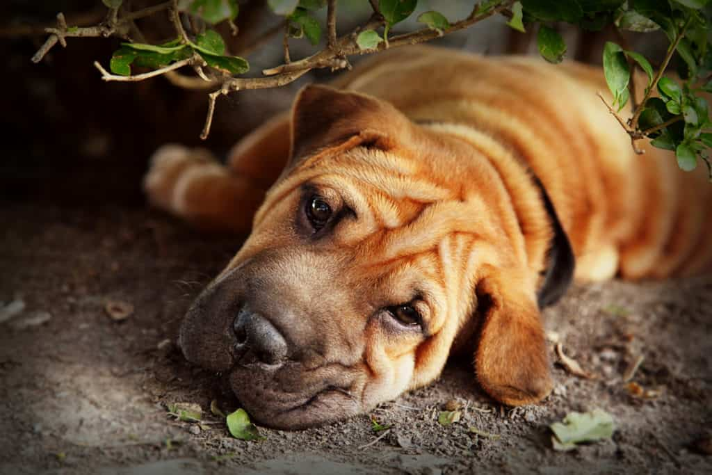 How Much Does a Shar-Pei Cost? Average Prices and Expenses