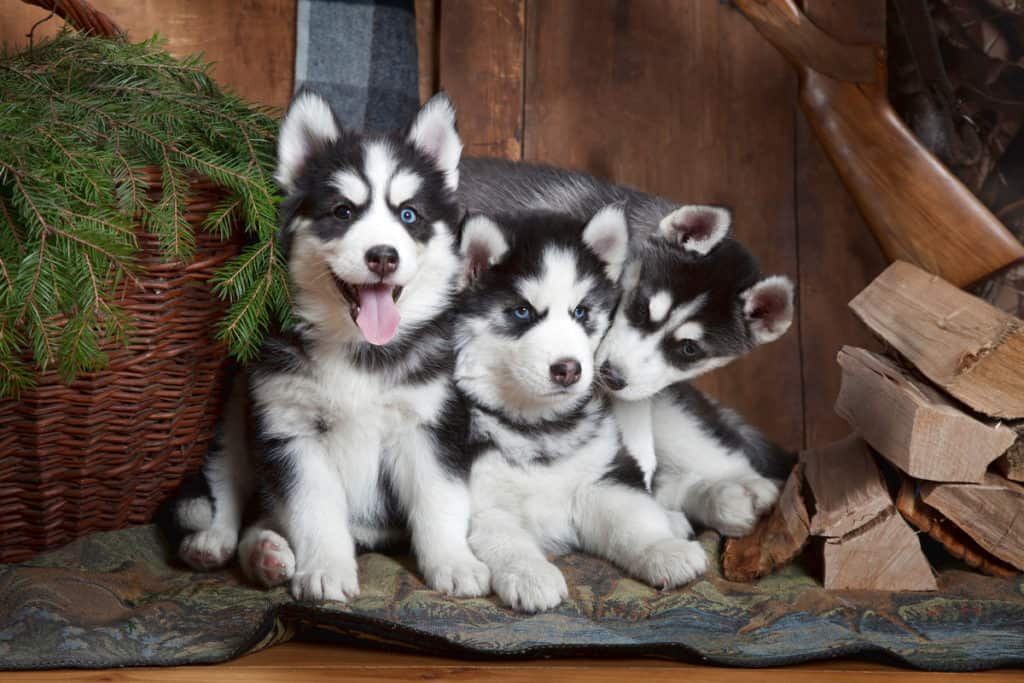 How Much Does a Siberian Husky Cost? Prices and Expenses