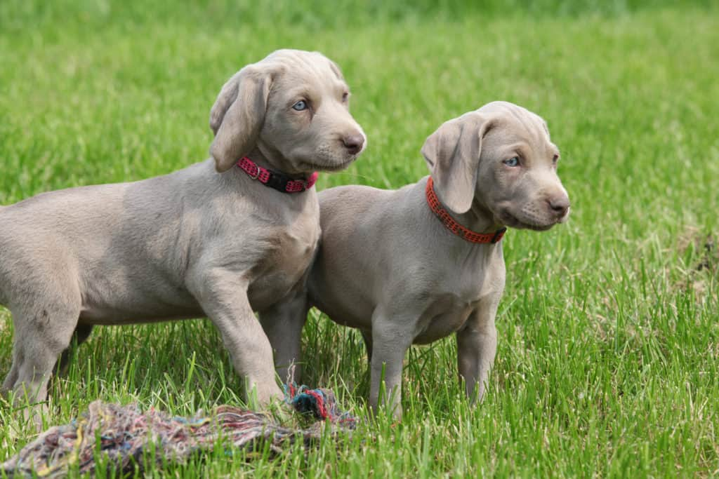 Weimaraner Price and Expenses: How Much Do They Cost?