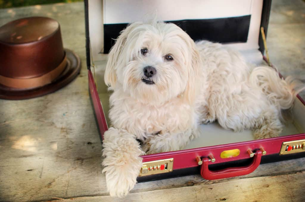 How Much Space Does a Maltese Need?