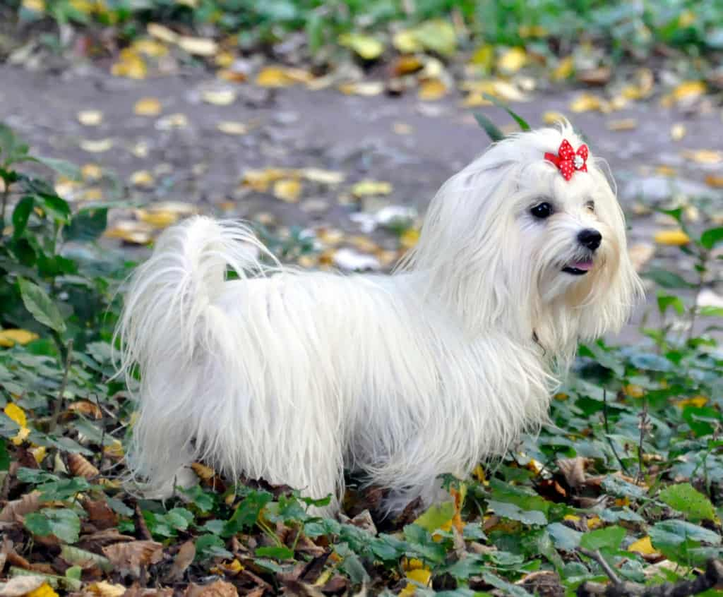 How to Potty Train a Maltese Puppy - A Quick Guide