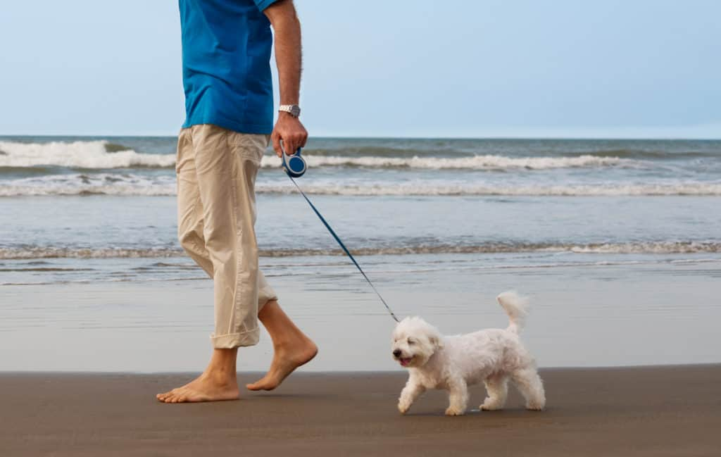 How to Train a Maltese to Walk on a Leash?