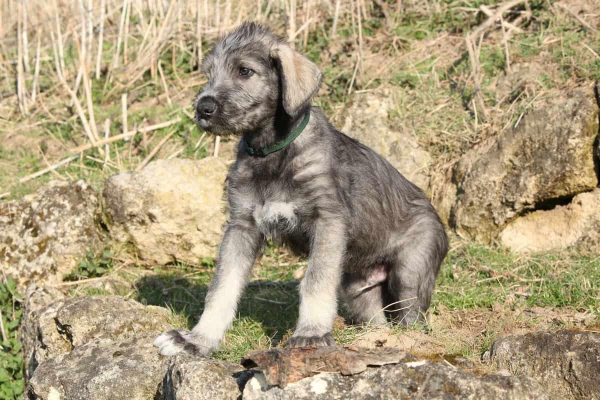 Irish Wolfhound puppy price and expenses break down