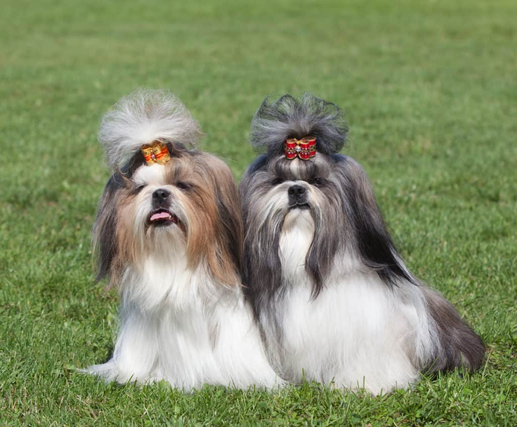 Male VS Female Shih Tzus: What's the Difference?
