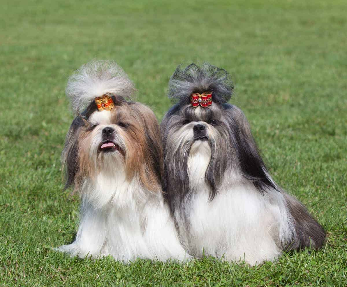 Male Vs Female Shih Tzus What S The Difference