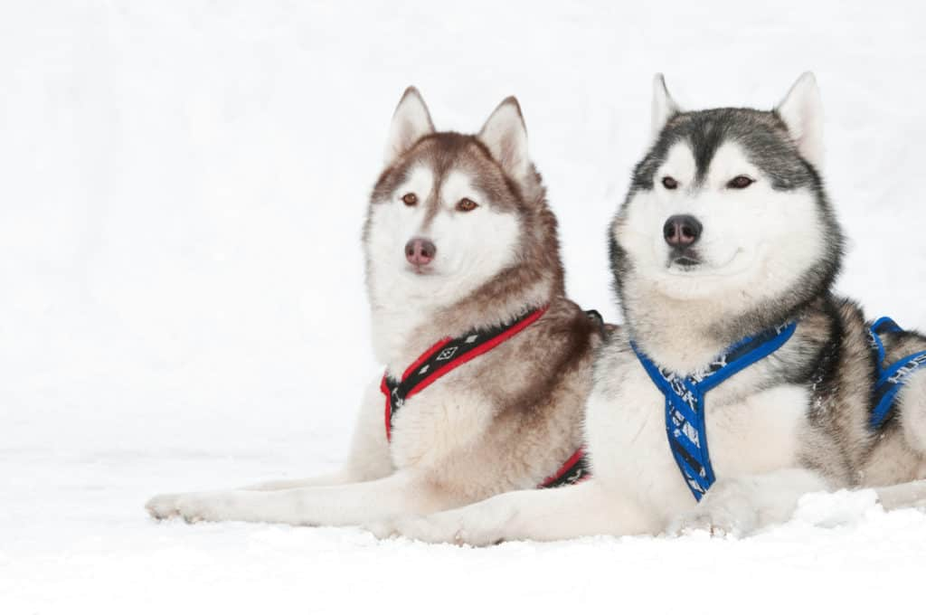 Male Vs. Female Siberian Huskies: What's the Difference?