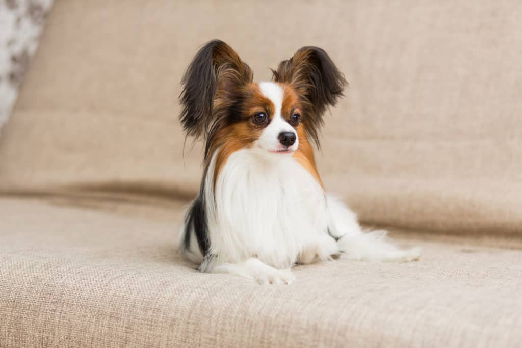 Papillon Shedding