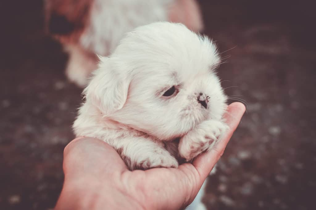 Places to Find Maltese Puppies for Sale