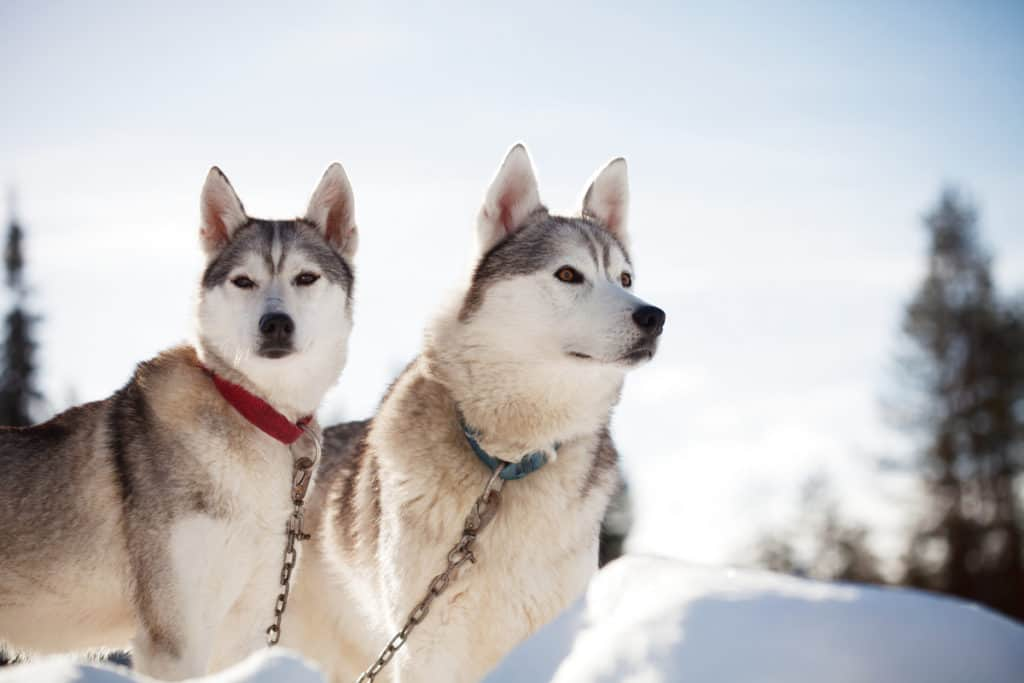 Siberian Huskies Weight: Growth Curve and Average Weights