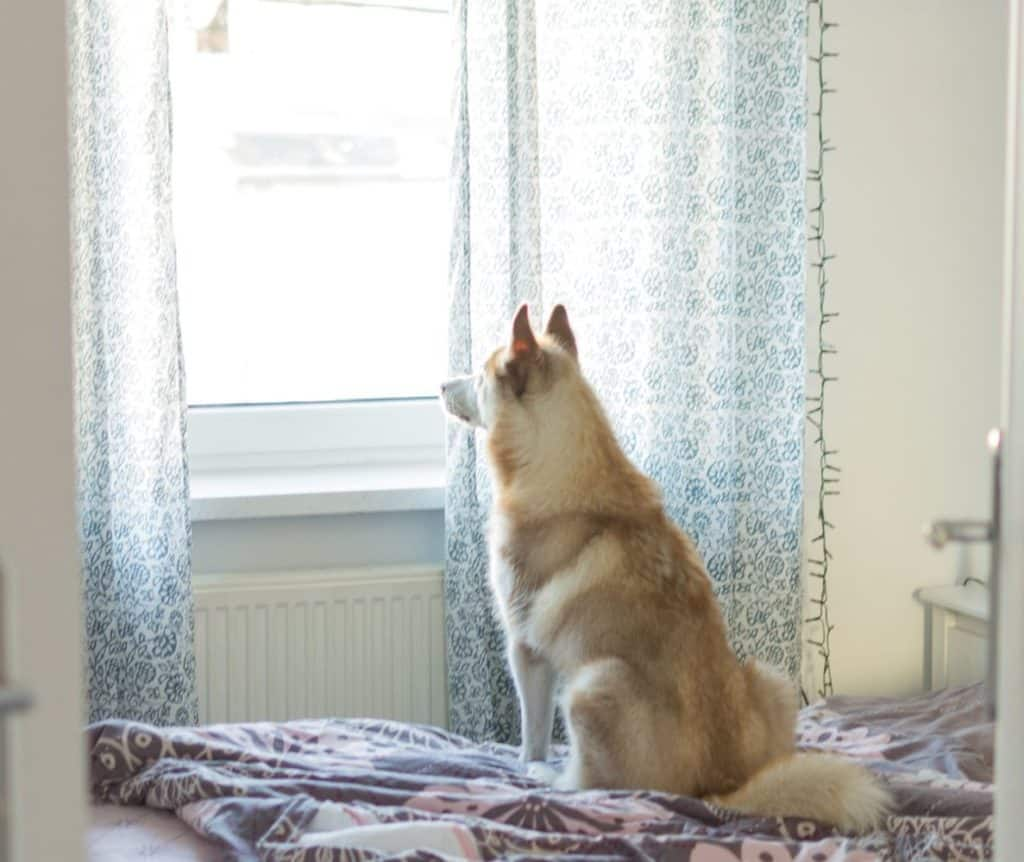 Siberian Husky looking outside through the window alone
