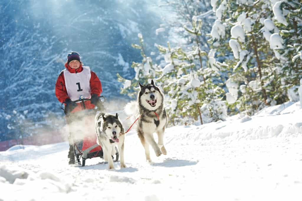 What Were Siberian Huskies Bred For?