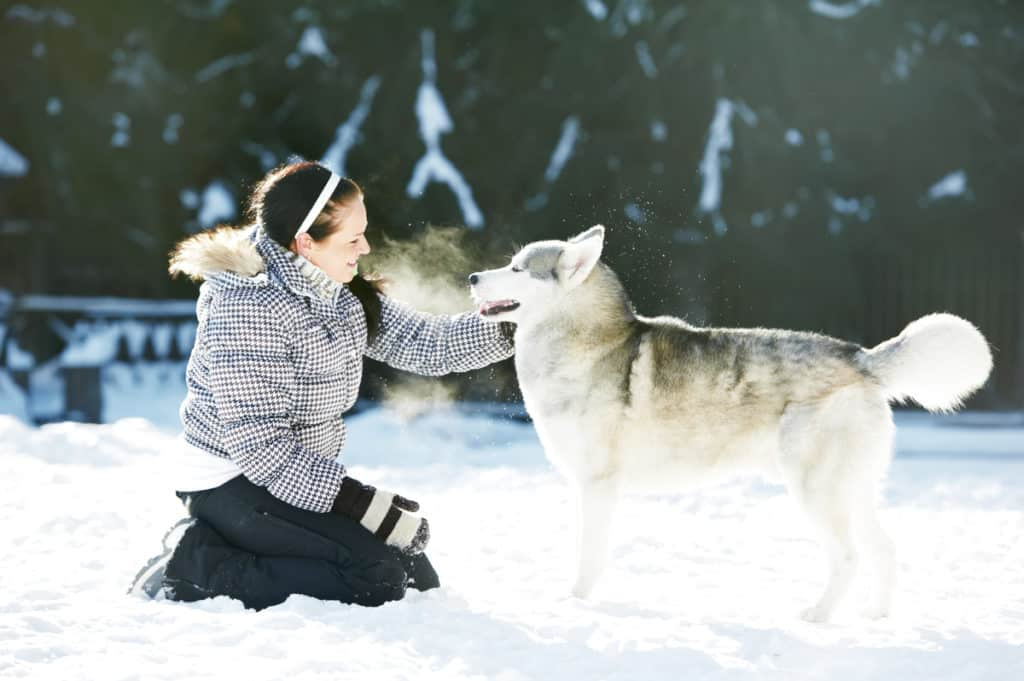 Will Siberian Huskies Protect Its Owner?