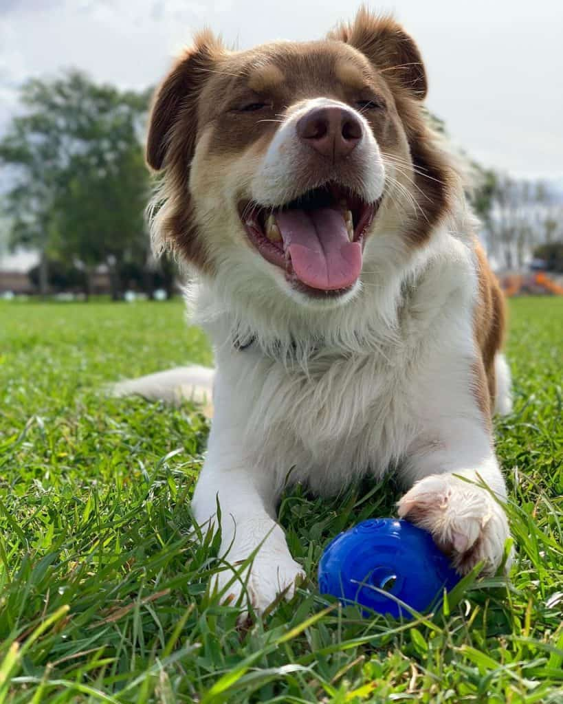 Border Collie Brittany Mix(Border Collie Britt) lying on the grass and playing its toy