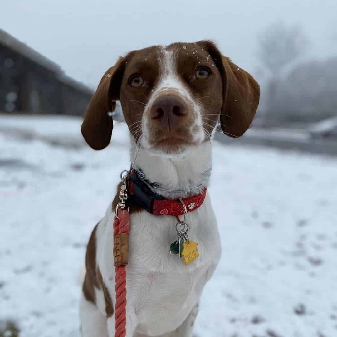 Brittany Spaniel Beagle Mix (Brittany Beagle) sitting on the snow