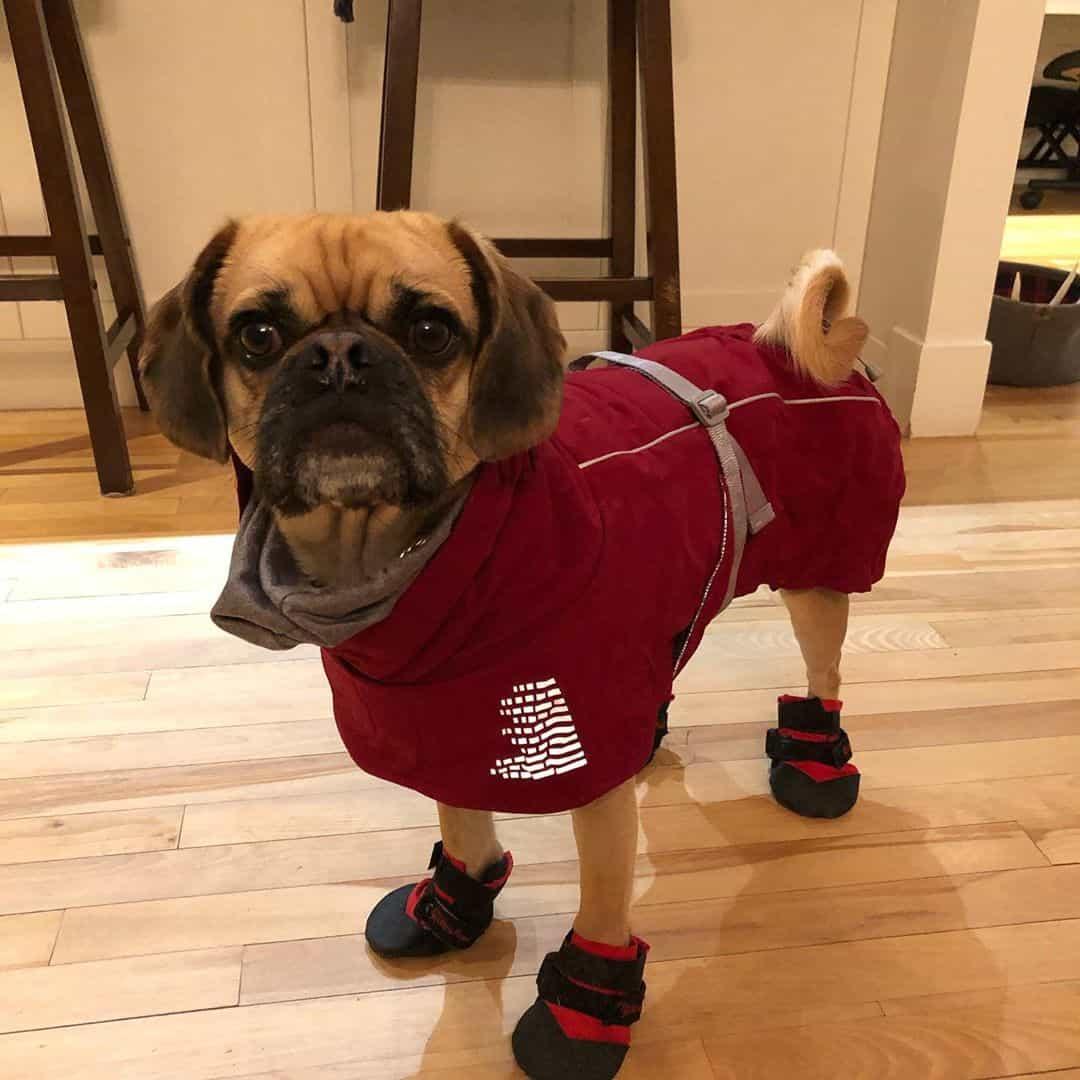 Cocker Pug