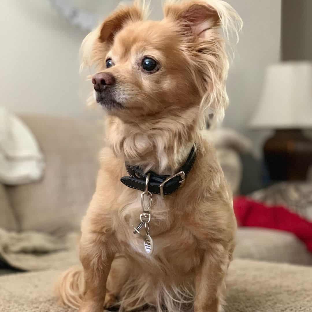 Papshund