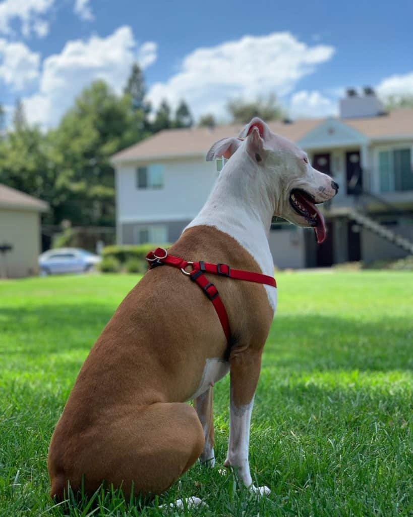 Pit Bull Greyhound Mix in the backyard