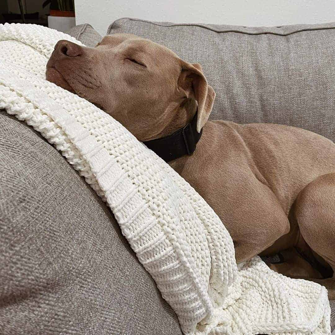Weimaraner Pitbull Mix sleeping on the sofa