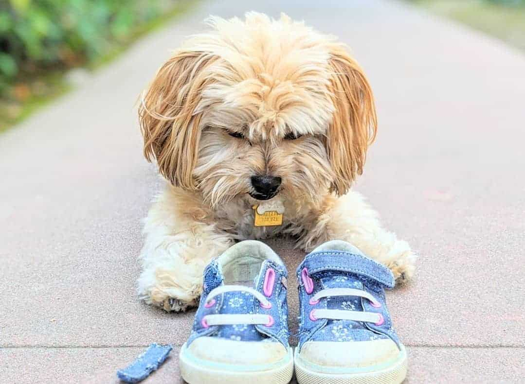 A Havanese mix looking at the shoe he has bitten