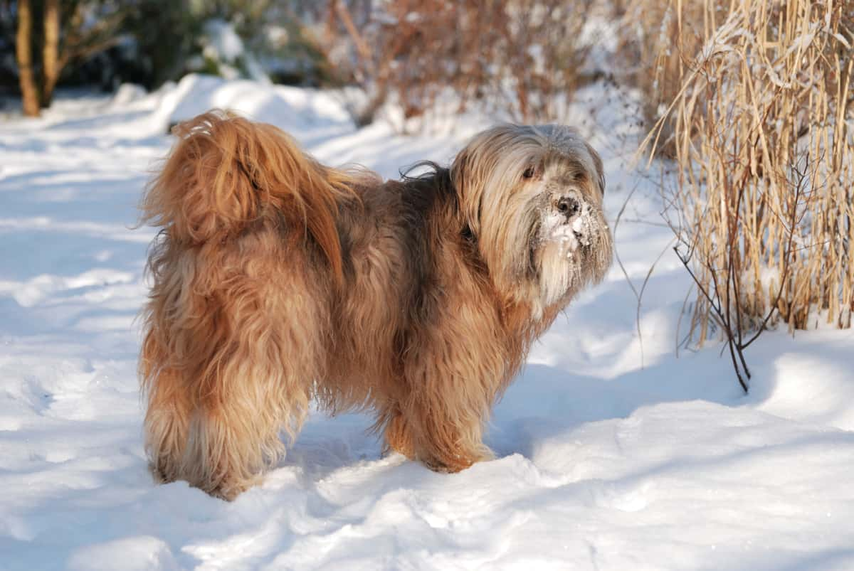 A male long-haired Tibetan Terrier standing on the snow