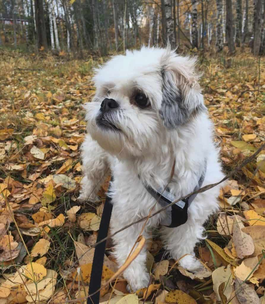 Adorable Havanese Japanese Chin Mix (Havachin) going for walk in a forest