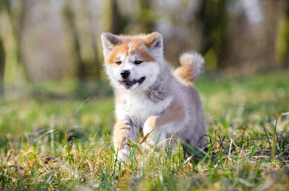 Akita puppy running on the grass
