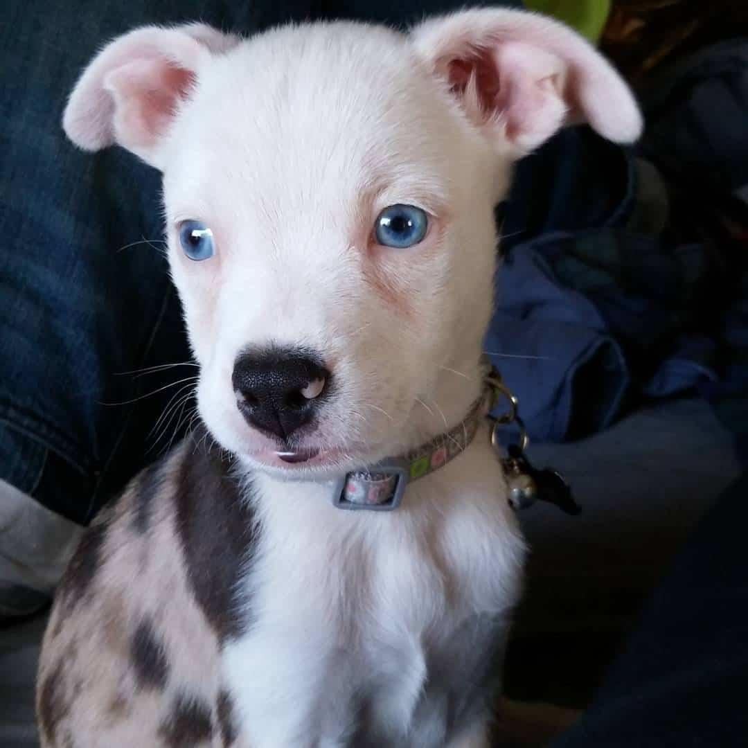 Australian Shepherd Boston Terrier Mix (Bossie) puppy