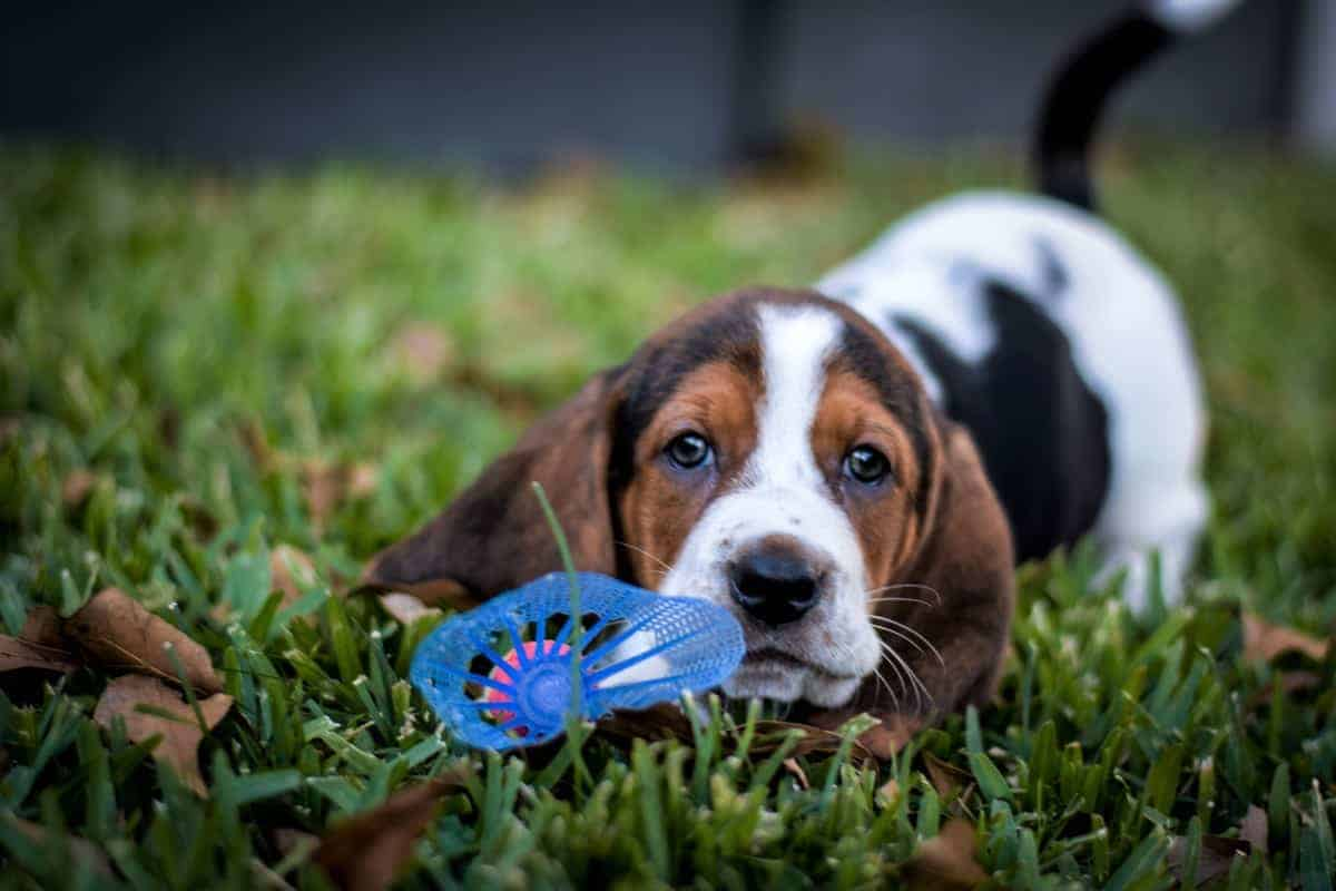 Basset Hound puppy playing his toy on the grass
