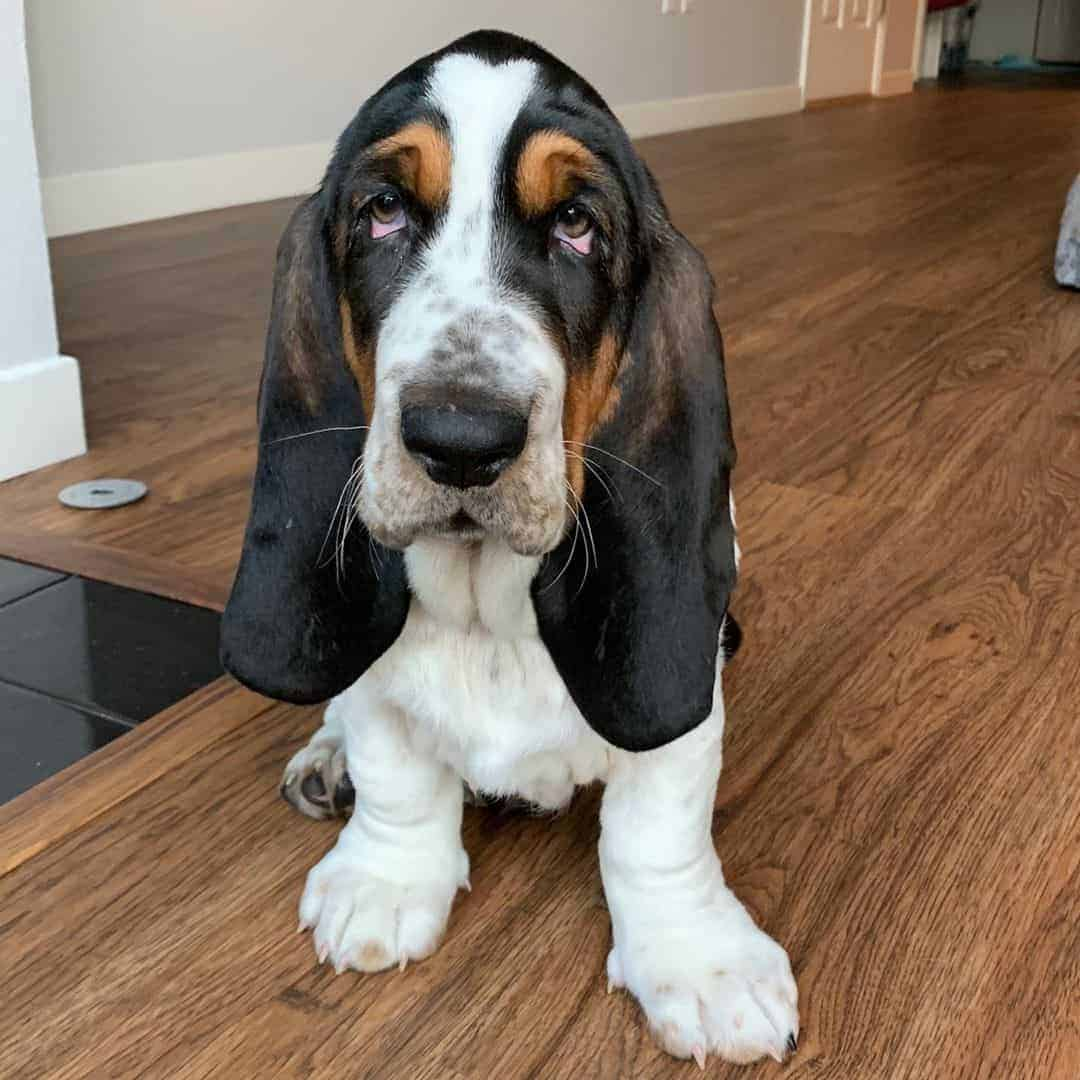Basset Hound with a black mask