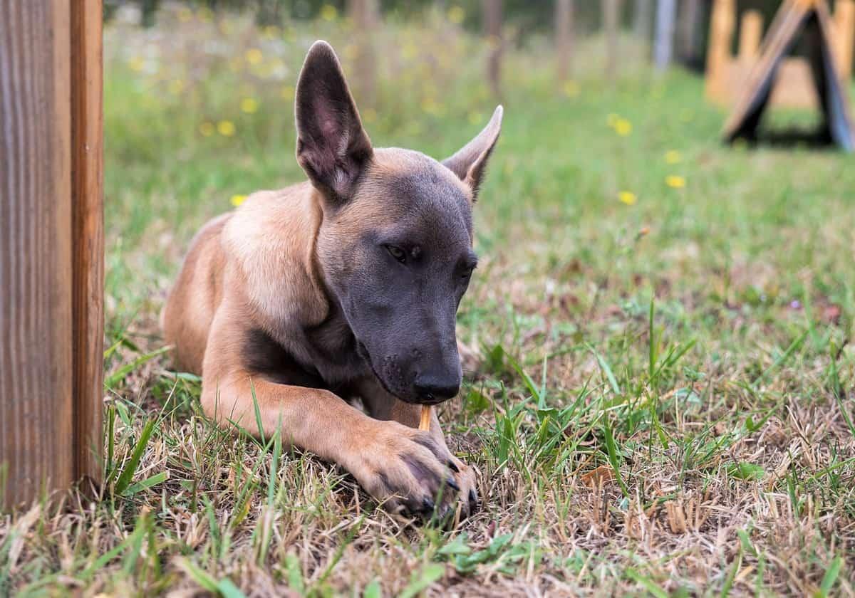 Belgian Malinois puppy lying on the grass