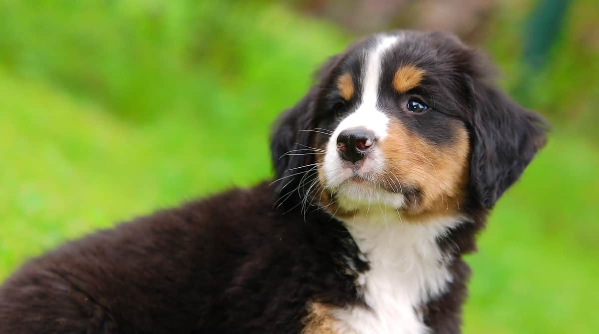 Bernese Mountain Dog puppy looking behind