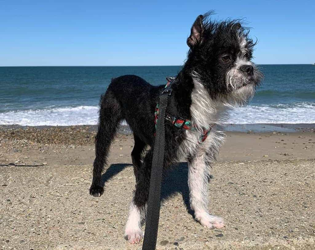 Bichon Frise Boston Terrier Mix (Bostchon) on a beach