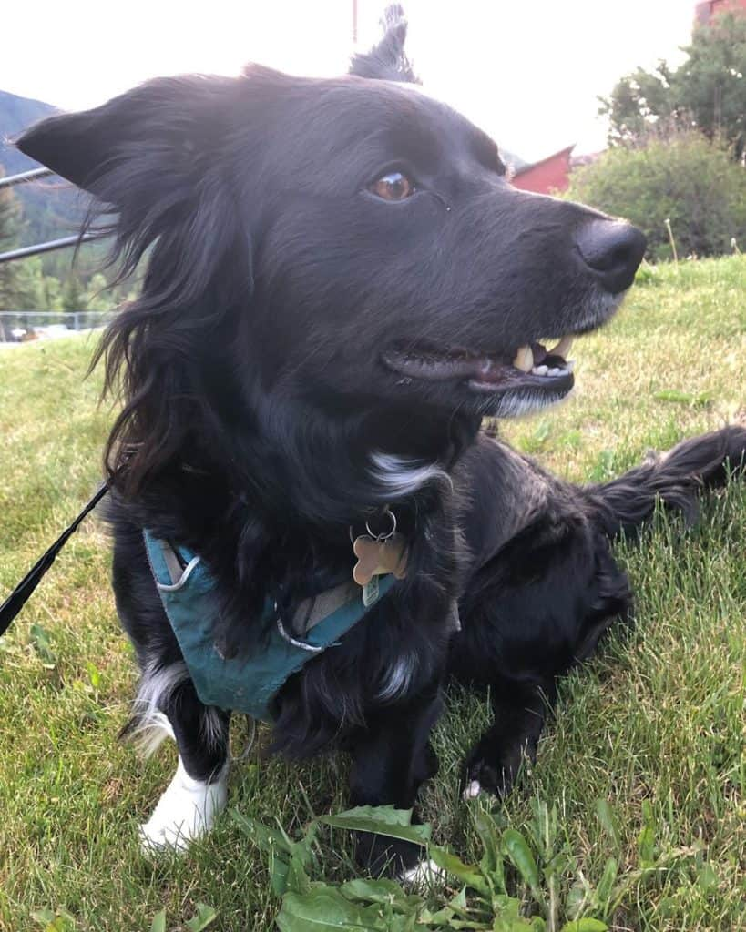 Black Havanese Border Collie Mix (Border Colvanese) going for walk on leash
