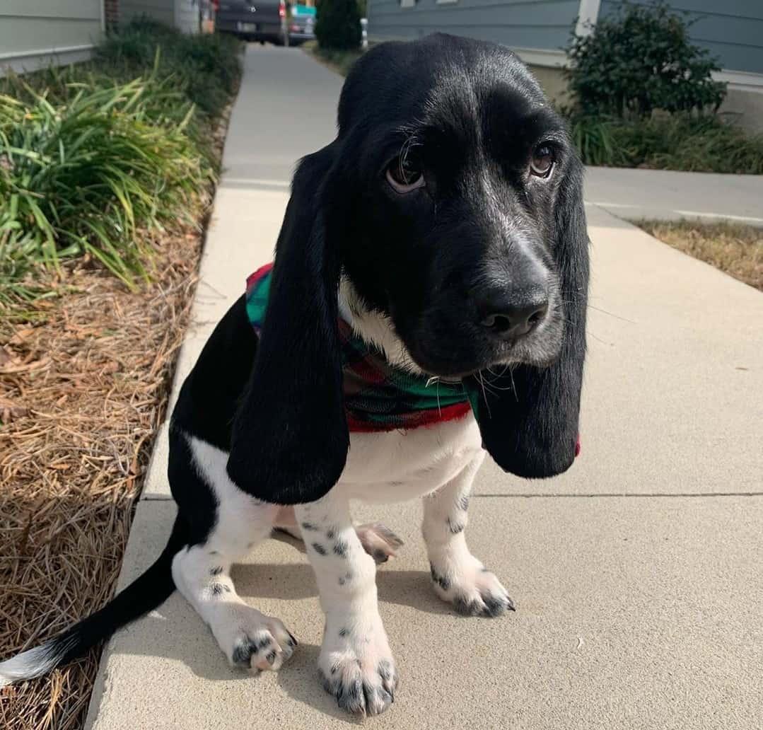 Black and white Basset Hound puppy