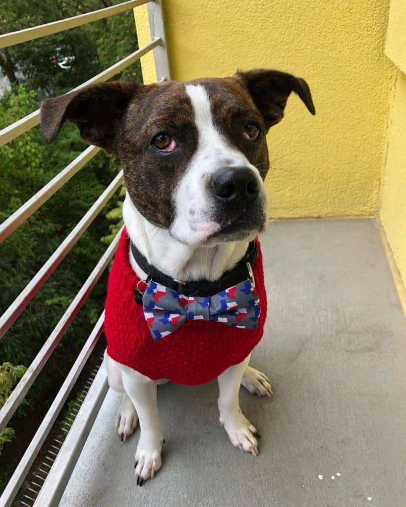 Boston Terrier Boxer Mix (Boston Boxer) wearing a red dog shirt