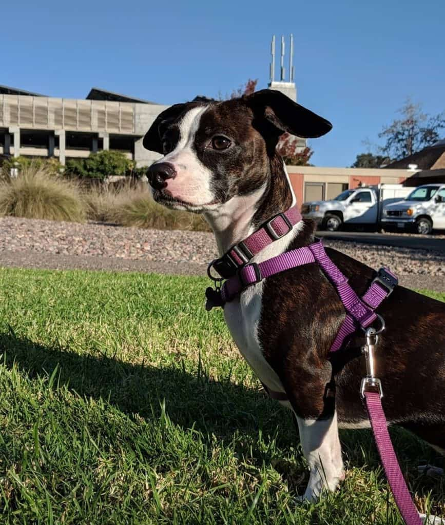 Boston Terrier Dachshund Mix (Bo-Dach) outside on a leash