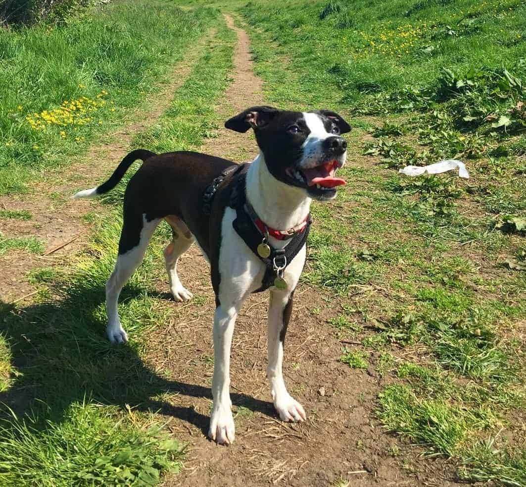 Boston Terrier Italian Greyhound Mix (Bostalian) standing in the middle of a pathway