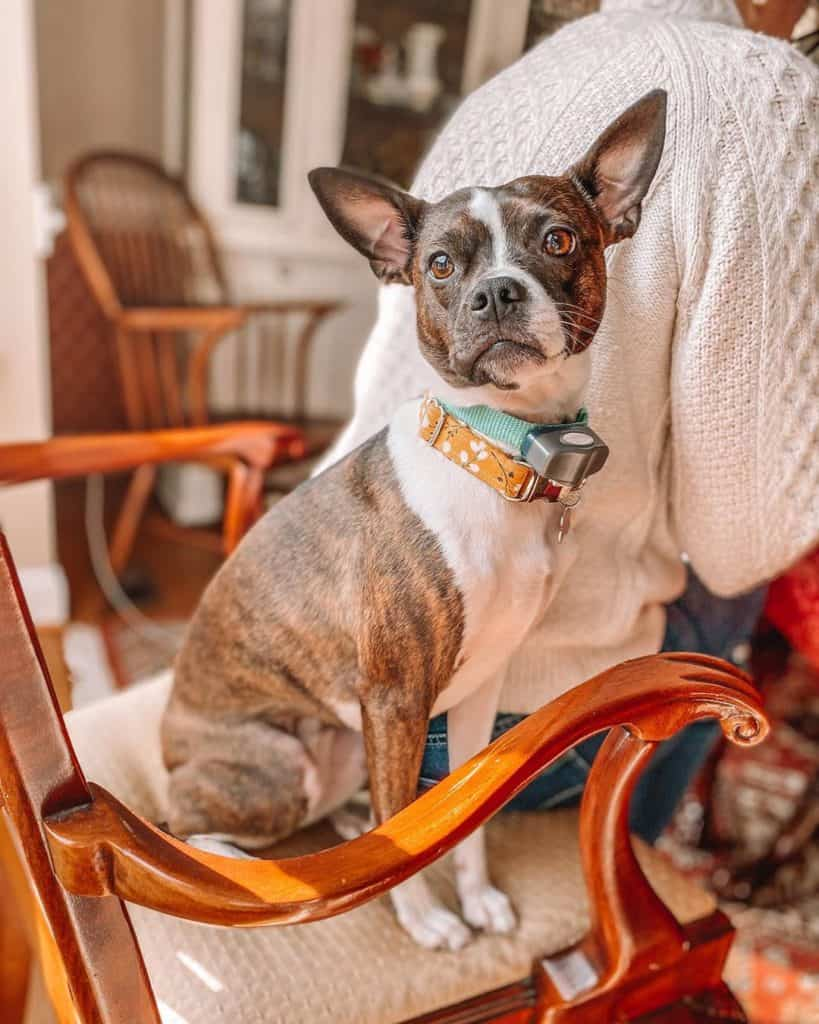 Boston Terrier Miniature Pinscher Mix (Bospin) sitting on a chair