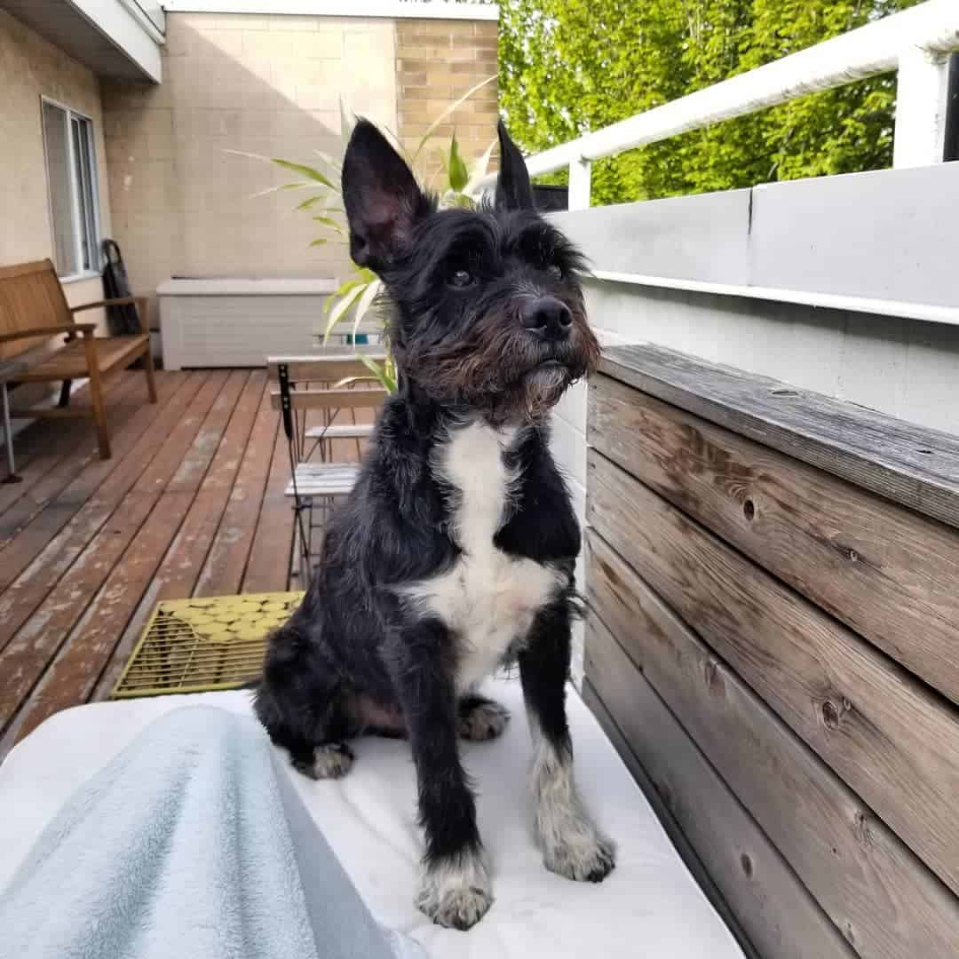 Boston Terrier Miniature Schnauzer Mix (Miniboz) in a porch