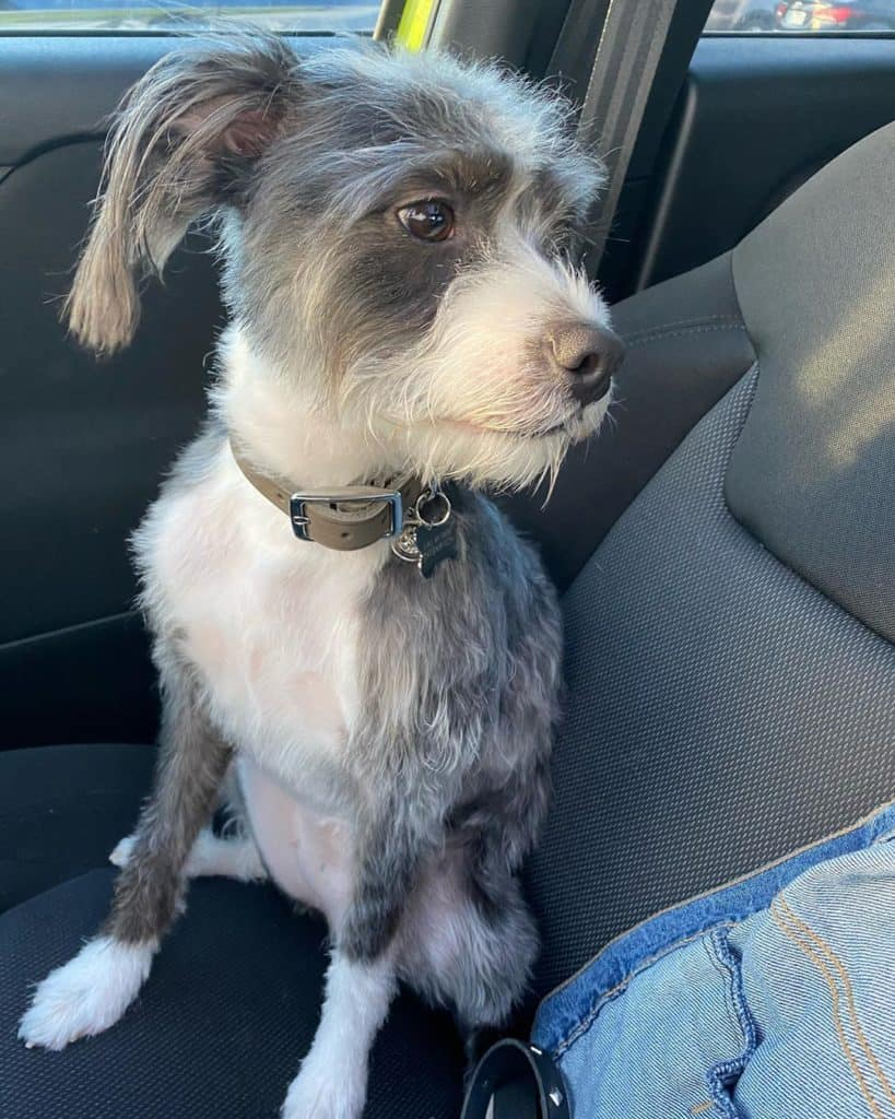 Boston Terrier Poodle Mix (Bossi-Poo) sitting in a car