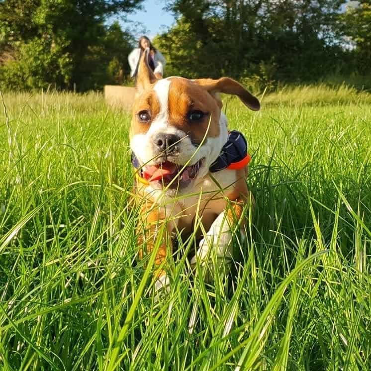 Bulldog Springer Spaniel Mix (English Bull Springer) running on the field happily