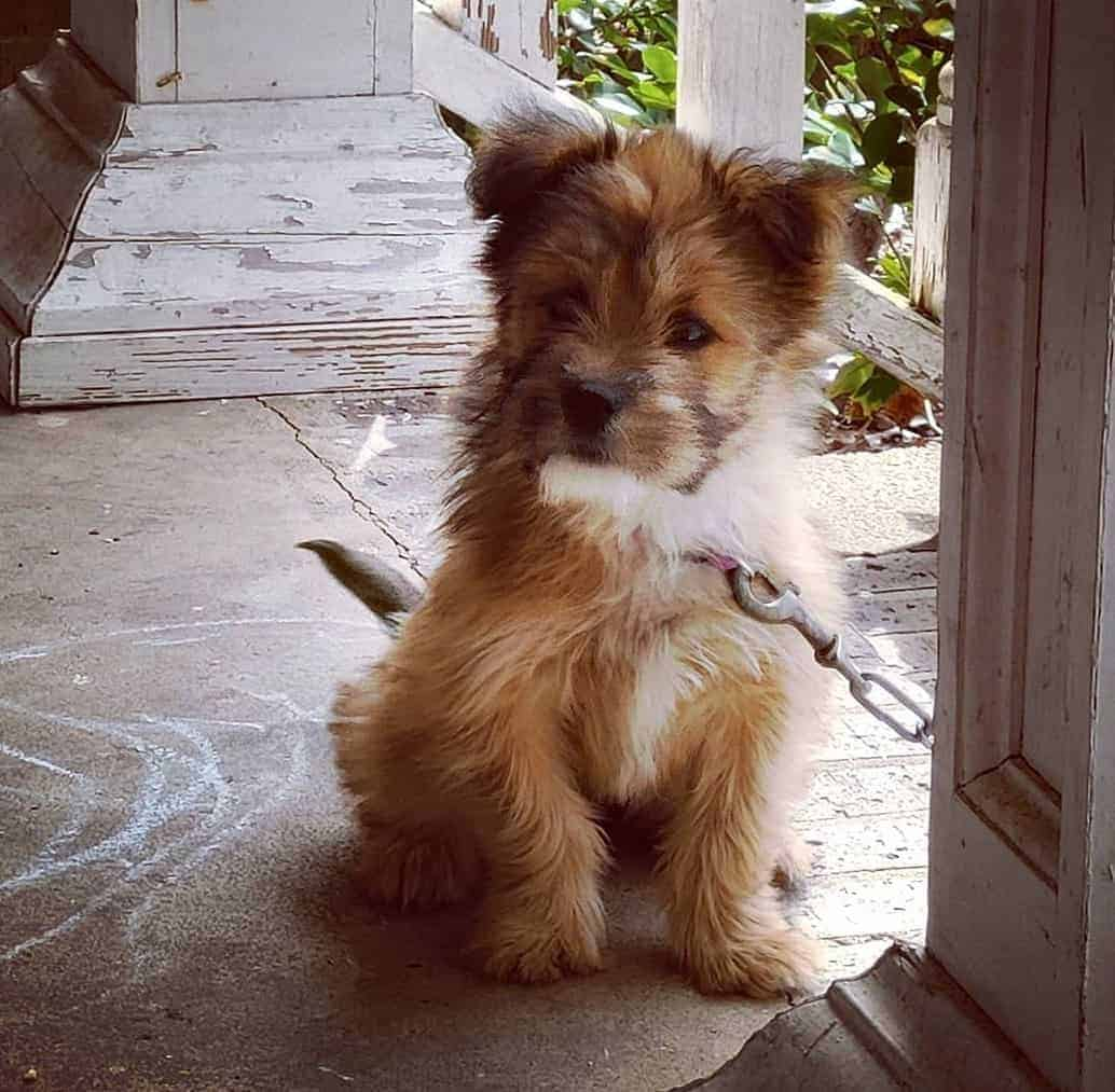 Cairn Terrier Boston Terrier Mix (Cairoston) puppy
