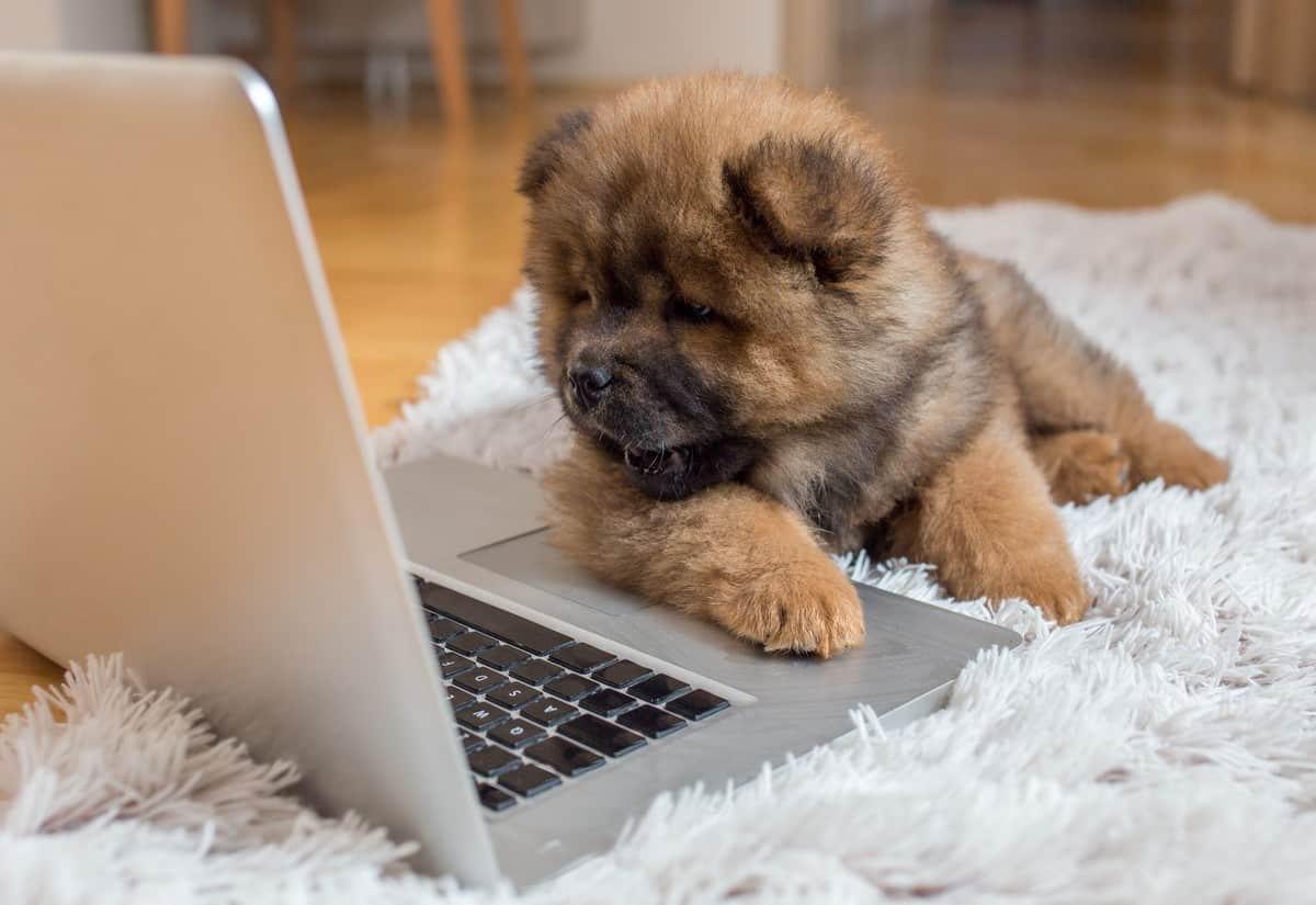 Curious Chow Chow puppy lying on the floor and looking at laptop