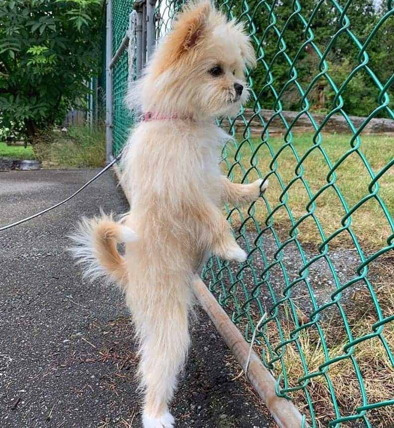 Curious Pomeranian Lhasa Apso Mix (La-Pom) looking through the fencen while standing up