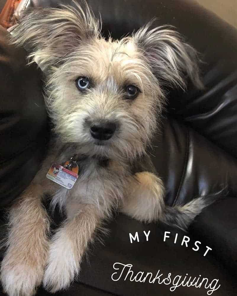 Havanese Alaskan Klee Kai Mix (Hava-Klee) sitting on a couch