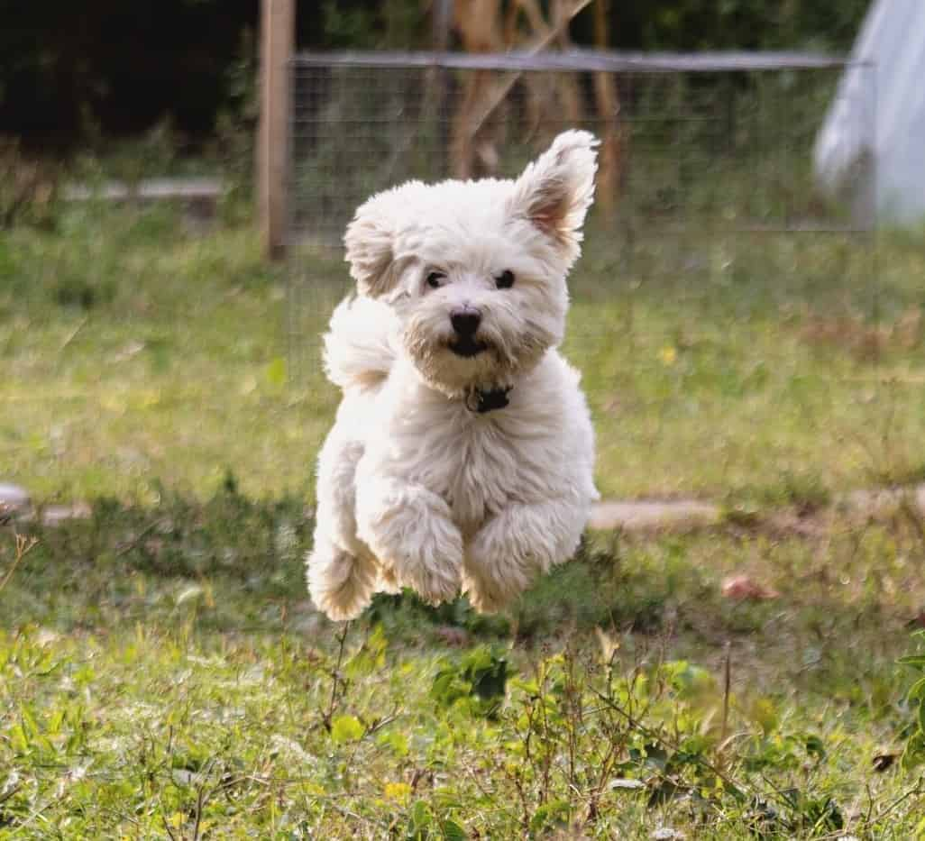 Havanese Bolognese Mix (Dualanese) running happily on a grass