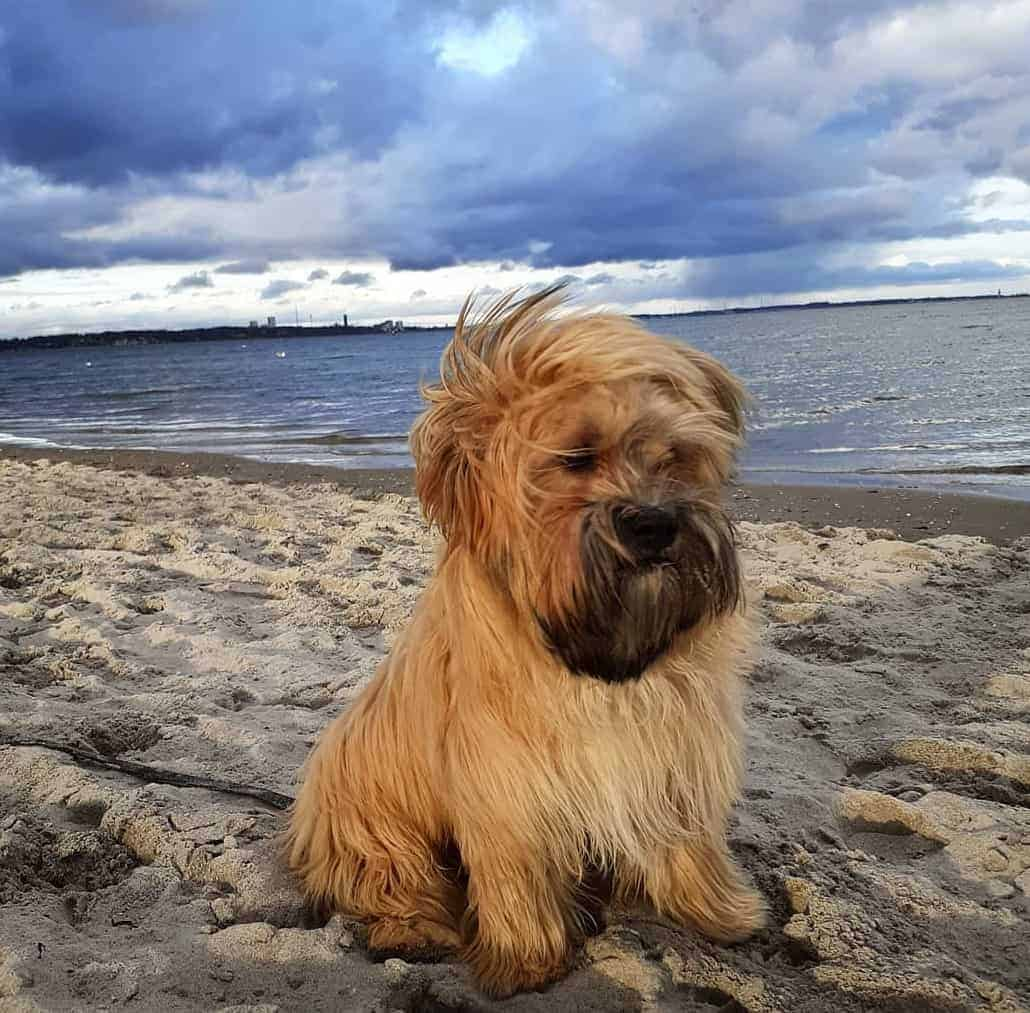 Havanese Cairn Terrier Mix (Cairnese) on a beach