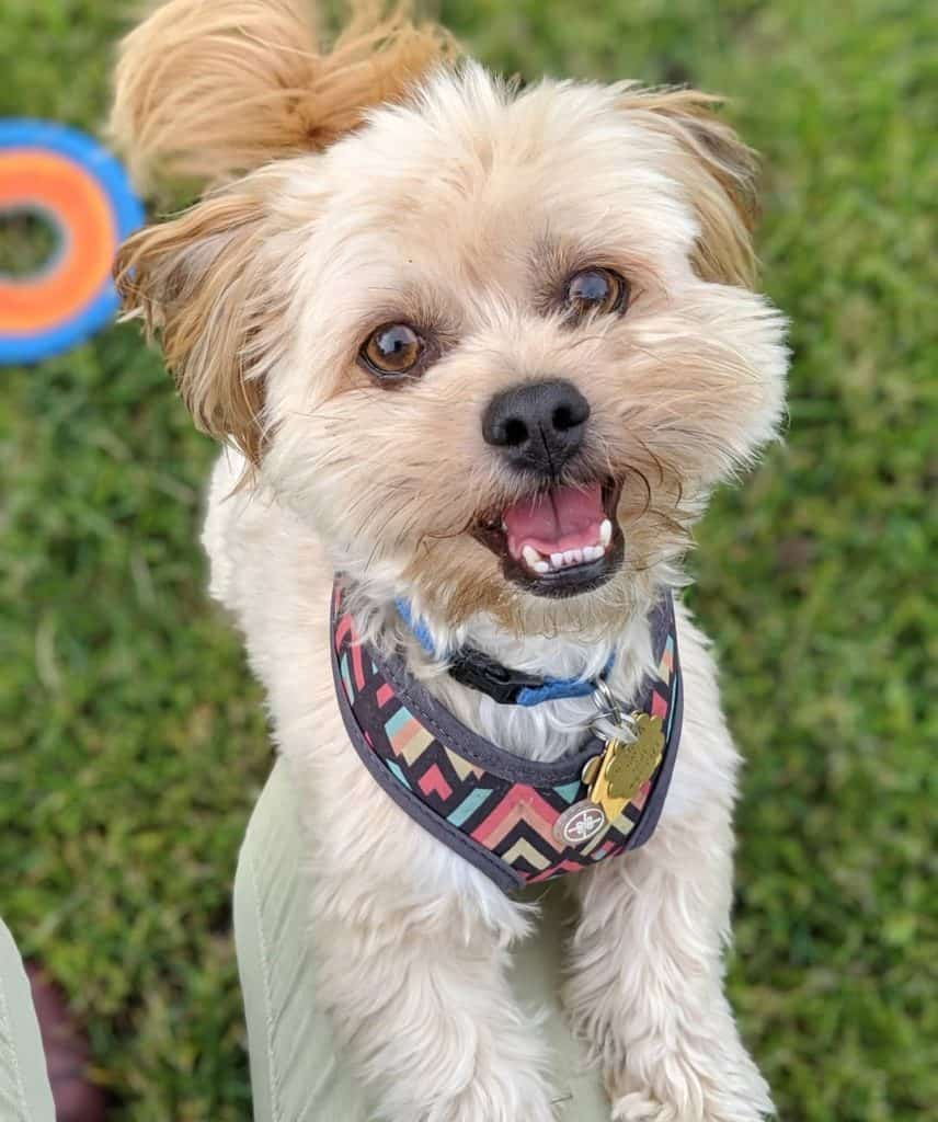 Havanese Lhasa Apso Mix (Hava-Apso) smiling at his owner
