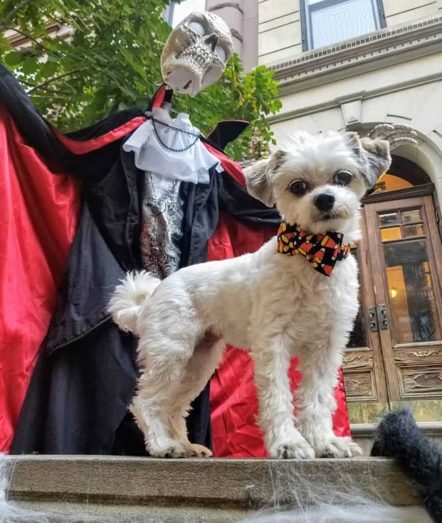 Havanese Papillon Mix (Havallon) during halloween